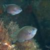 Purple Reeffish
