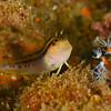 Seaweed Blenny