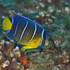 Blue Angelfish - Juvenile