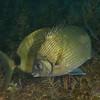 Spottail Pinfish