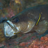 Whitespotted Soapfish w/Yellowprow Goby