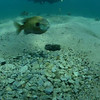 Video of Bluegill guarding what appeared to me to be an empty nest.