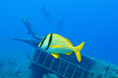 How about this Porkfish?