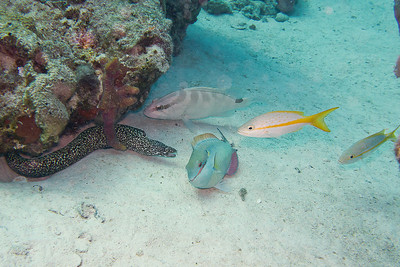 What a treat; Goldentail Morey, Nassau Grouper, Redband Parrotfish and couple of Yellowtail Snappers