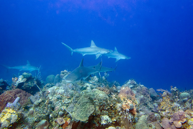 How about this shot three Hammerhead sharks, two Caribbean Reef Sharks and I behind the camera.