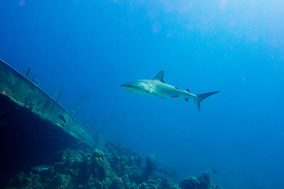 Sharks and shipwrecks most common dive experiences in Bahamas.