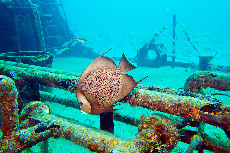 Gray Angelfish, this guys could get very large just like this one about 2 lf.