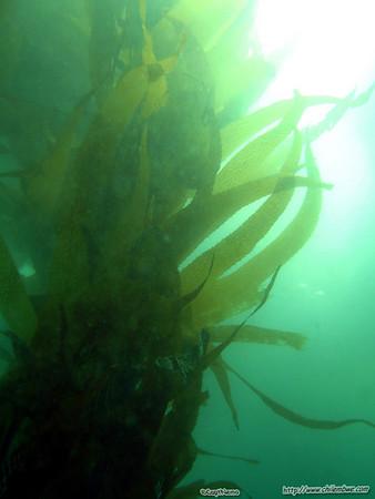 Monterey, Breakwater cove. Giant kelp  Macrocystis pyrifera