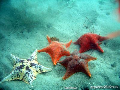 Monterey, Breakwater cove. (Bat stars)  Asterina miniata