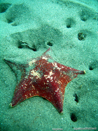 Monterey, Breakwater cove. (Bat star)  Asterina miniata