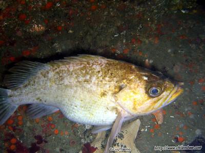 Monterey, Breakwater cove. Kelp bass  Paralabrax clathratus