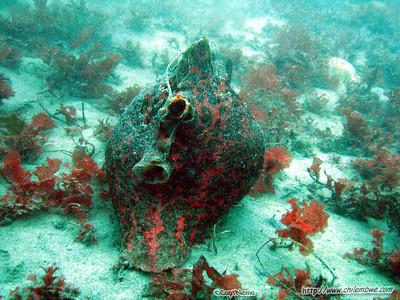 Monterey, Breakwater cove, Giant sea hare, Aplysia vaccaria