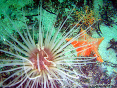 Monterey, Breakwater cove. Tube Anemone (Pachycerianthus fimbriatus)