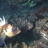 Quillback, Cabezon, China<br /> Hard to fish for Cabezon without also fishing for chinas and quillbacks!<br /> Neah Bay Aug 09