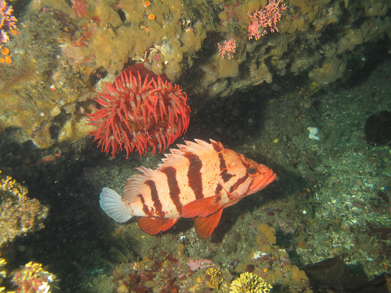 Tiger rockfish<br /> Neah Bay Aug 09