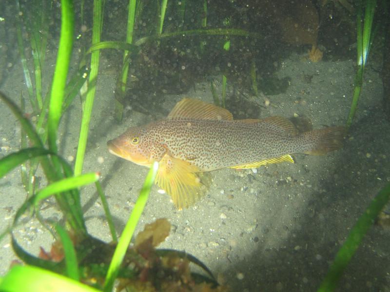 Kelp Greenling, female<br /> Neah Bay Aug 09