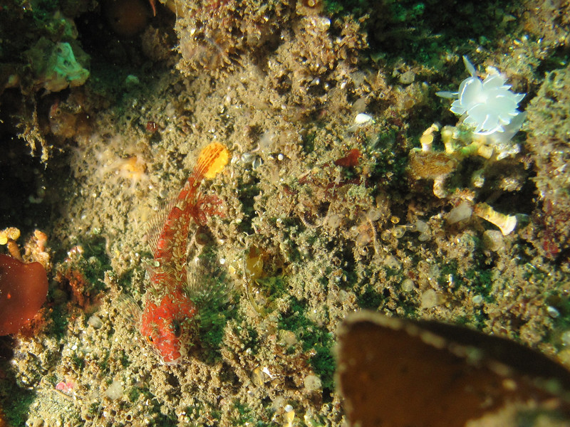 scalyhead sculpin with white line dirona<br /> Neah Bay Aug 09
