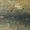Canary rockfish (juveniles)<br /> Neah Bay Aug 09