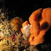 Sponge w/ Leopard Dorid<br /> Neah Bay Aug 09