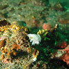 small Giant (?) Nudibranch<br /> Neah Bay Aug 09
