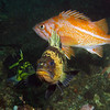Picture by Janna Nichols<br /> showing Quillback, Canary and China rockfish in close proximity