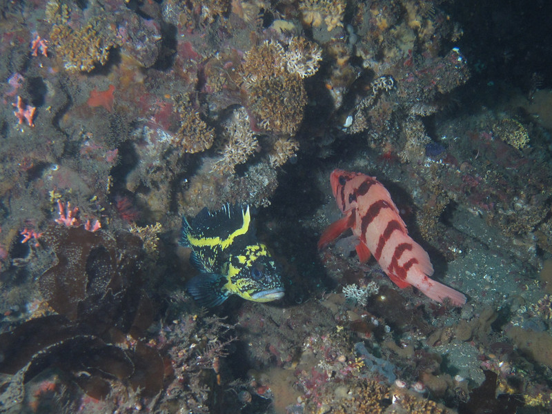 China and Tiger rockfish<br /> Neah Bay Aug 09