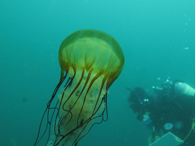 Sea Nettle<br /> Neah Bay Aug 09