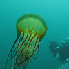 Sea Nettle<br /> Neah Bay Aug 09
