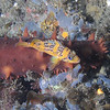 unknown rockfish juvenile (china?)<br /> Neah Bay Aug 09