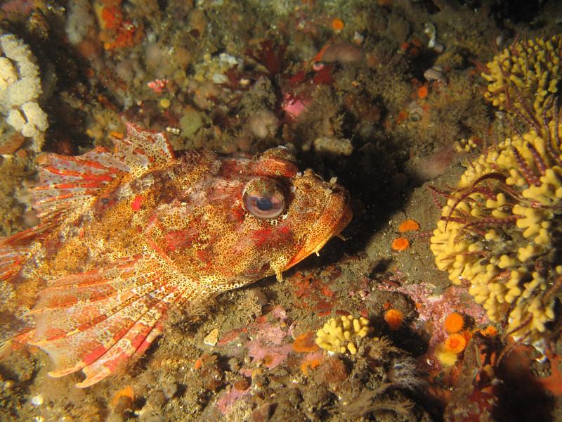 Red Irish Lord<br /> Neah Bay Aug 09