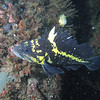 China rockfish<br /> Neah Bay Aug 09
