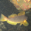 Kelp Greenling, female<br /> Neah Bay Aug 09