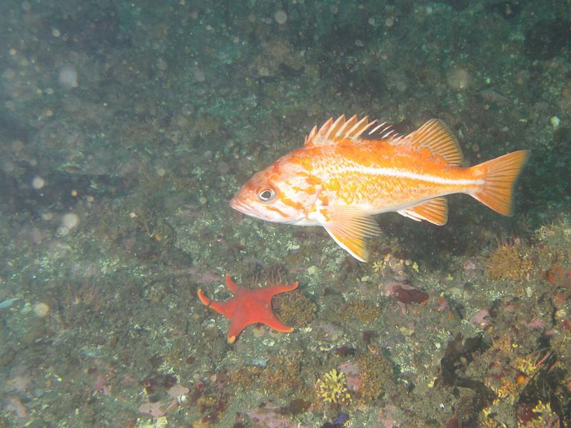Canary rockfish<br /> Neah Bay Aug 09