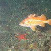 Canary rockfish<br /> Neah Bay Aug 09