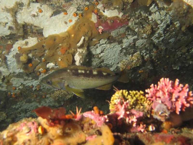 Yellowtail rockfish<br /> Neah Bay Aug 09