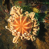 Basket Star<br /> Neah Bay Aug 09