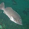 Blue rockfish<br /> Neah Bay Aug 09