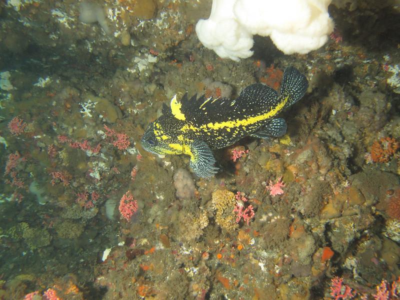 China rockfish<br /> Neah Bay Aug 09