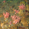 Pink Hydrocorals<br /> Neah Bay Aug 09