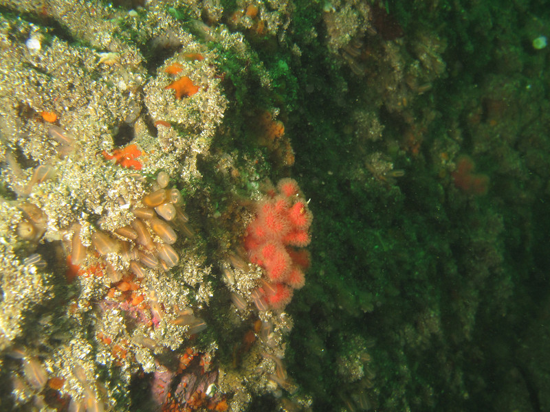 Lightbulb tunicates and soft coral<br /> Neah Bay Aug 09