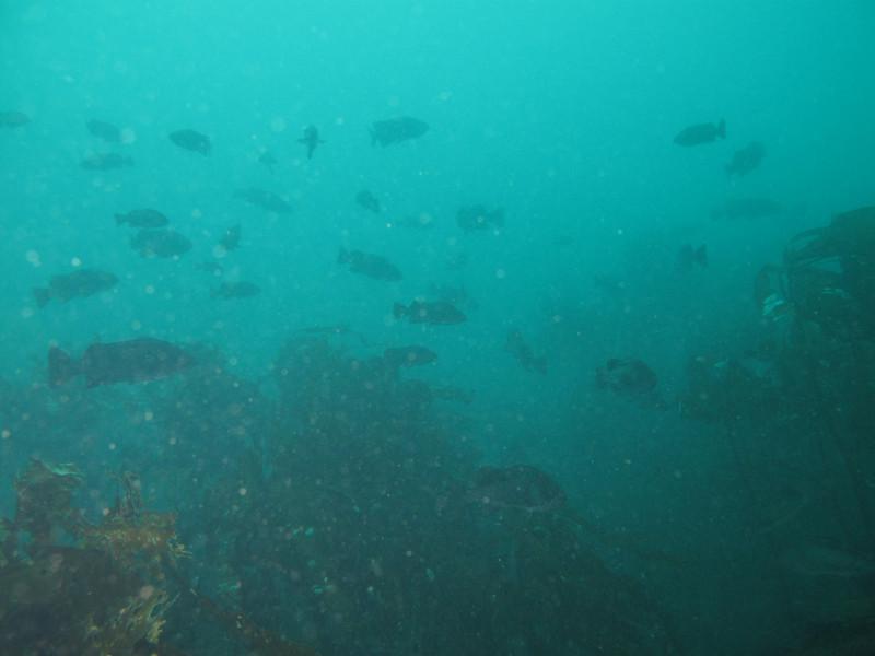 Black rockfish schooling<br /> Neah Bay Aug 09