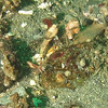 spinynose sculpin w/ shrimp<br /> Neah Bay Aug 09