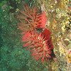 White Spotted and Fish eating anemones<br /> Neah Bay Aug 09