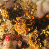 Fluted bryozoan w/ other invertebrates<br /> Neah Bay Aug 09