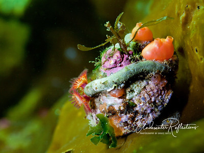Snail on kelp with tunicates and other critters  growing on his shell.