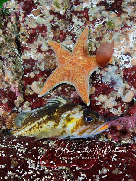 Sea star and rockfish.