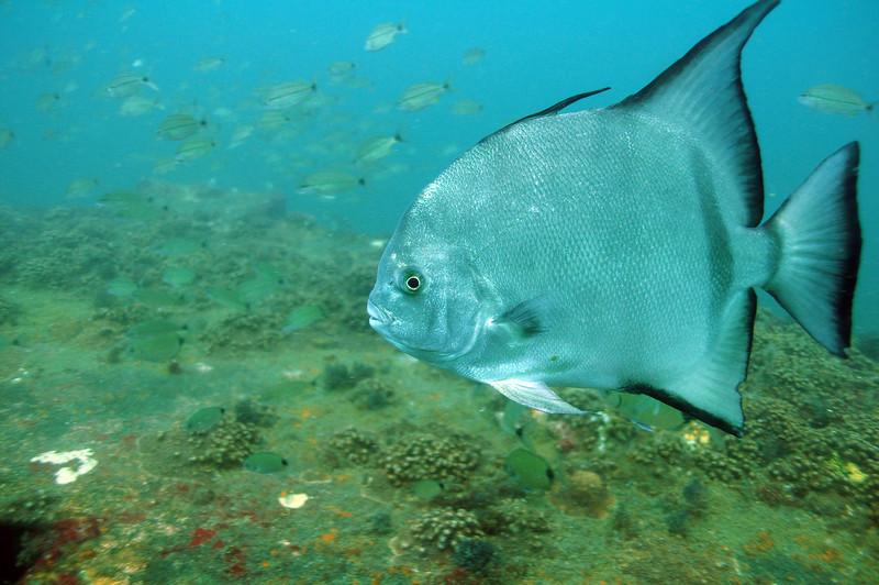 Spade Fish - August 2008