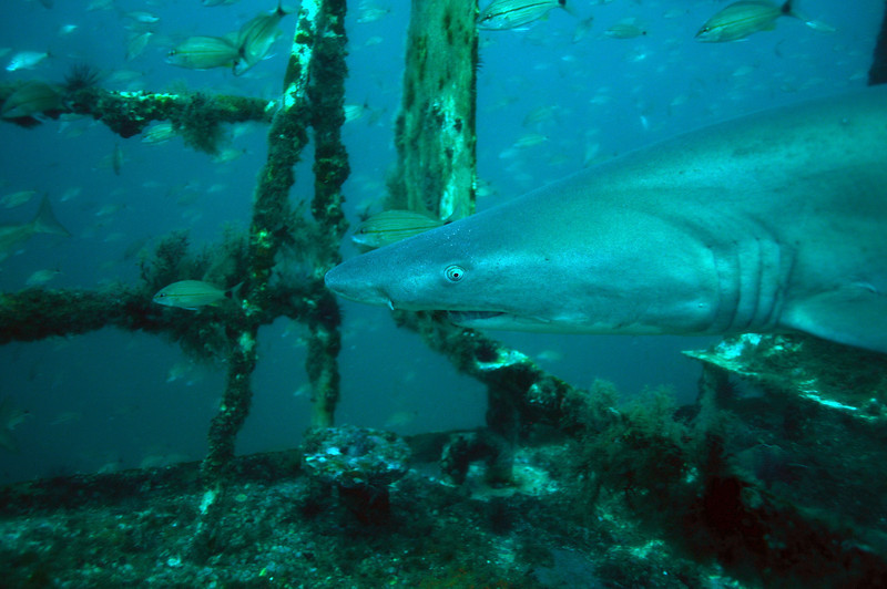Sand Tiger Shark on USS Spar - August 2008