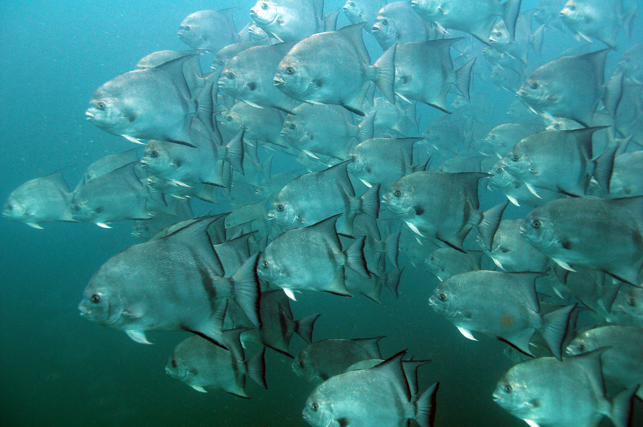 School of Spade Fish - August 2008