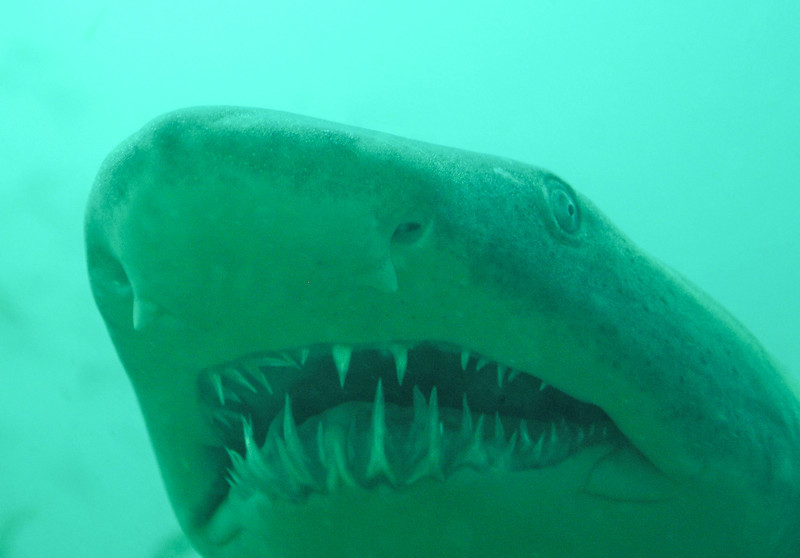 Close up of Sand Tiger Shark off the coast of Moorehead City, NC - August 2008